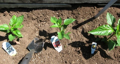 Planting bell peppers on ShockinglyDelicious.com