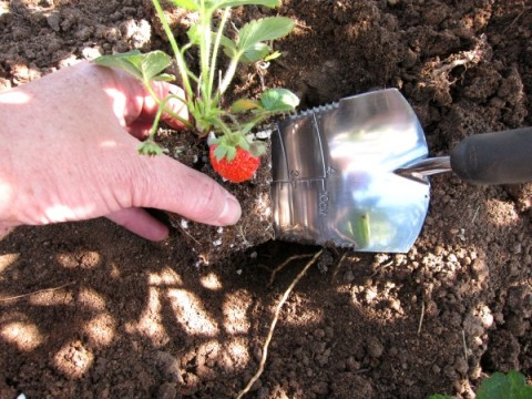 Strawberries being planted on ShockinglyDelicious.com