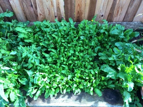 Arugula in the ShockinglyDelicious garden