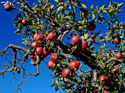Apple tree in Oak Glen CA (photo by Don Graham)