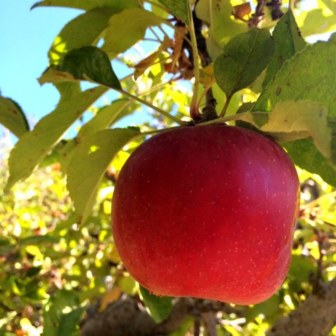 Make a day of it in Oak Glen, California -- pick your own apples, try cider donuts and hard cider, and be sure buy a Mile-High Apple Pie to take home with you!