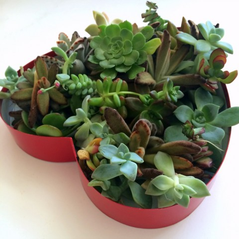 Succulents in a Heart-Shaped Box