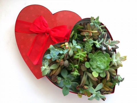 SUCCULENT HEART FOR VALENTINE'S DAY: For gardeners, the perfect valentine is a collection of succulents in a heart-shaped box.