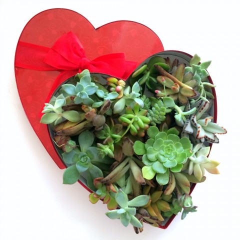 Valentine Succulents in a Heart Box