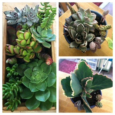 Succulents in new containers