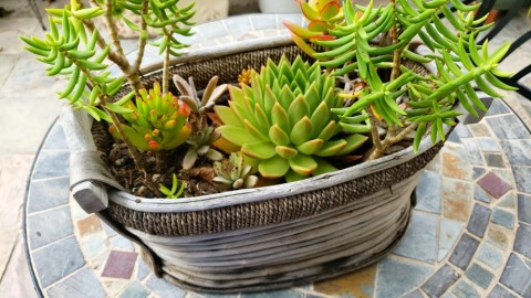 Succulents planted in a basket