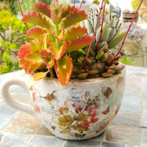 Succulents planted in oversize coffee cup