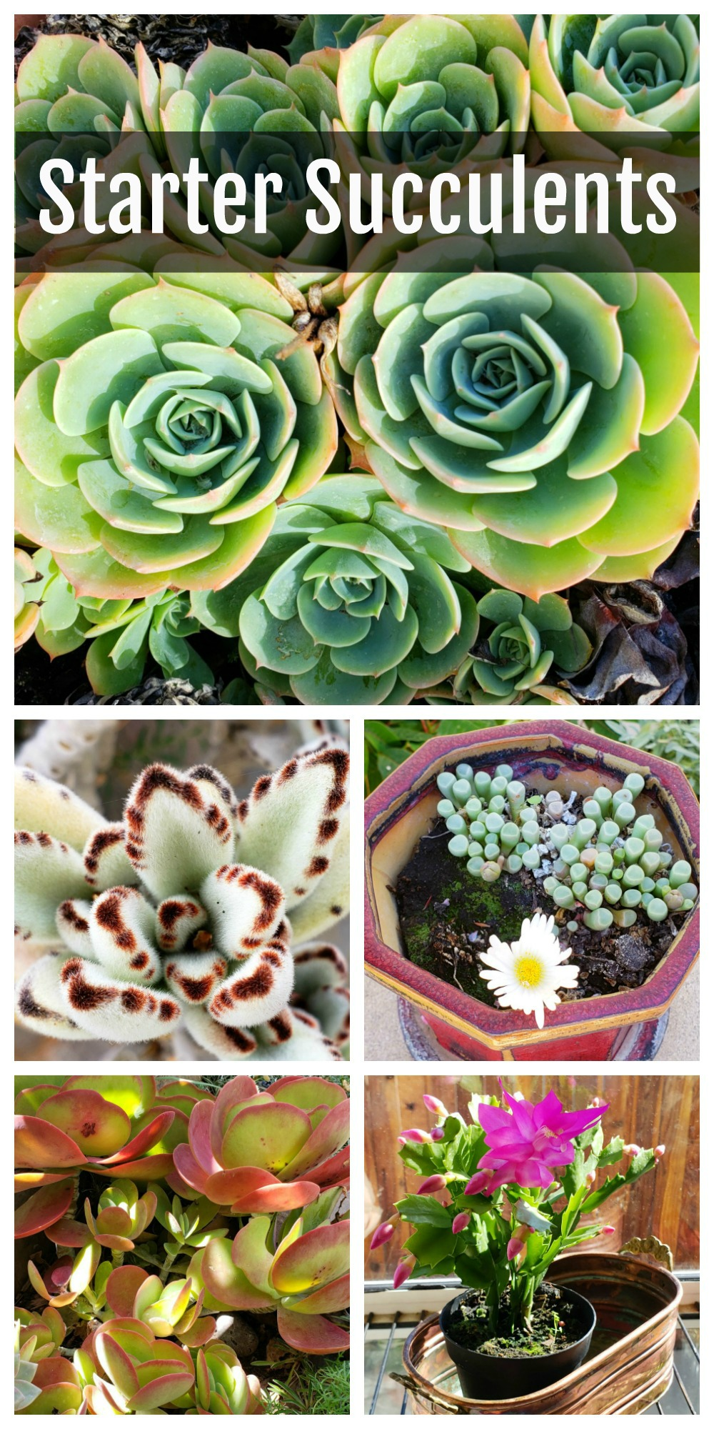 Succulents for Beginners on ShockinglyDelicious.com