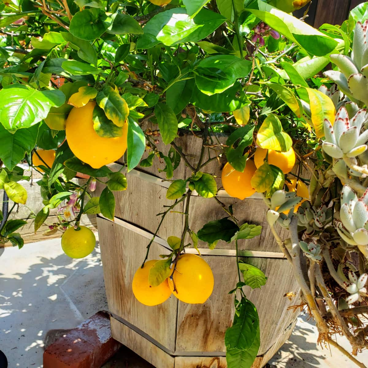 Dwarf Meyer Lemon tree in a half whiskey barrel with lemons hanging from the branches
