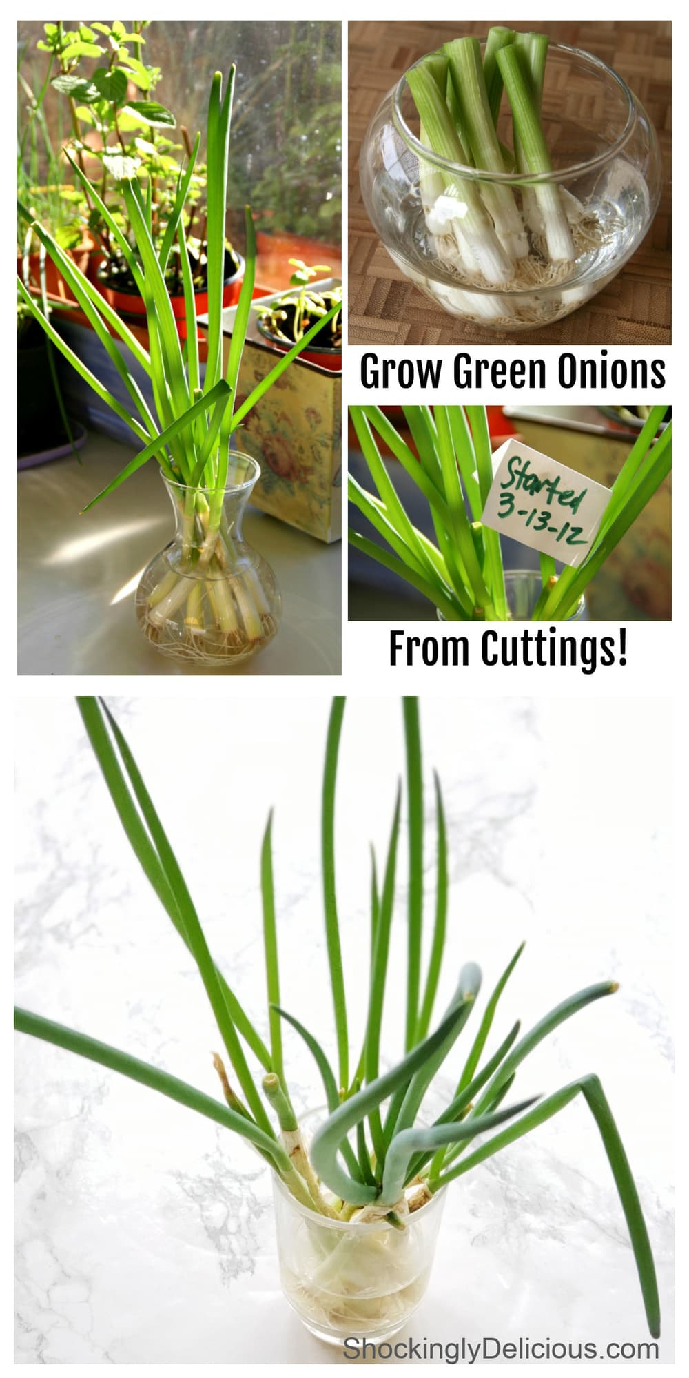 Photo collage of how to Grow Green Onions from Cuttings on ShockinglyDelicious.com