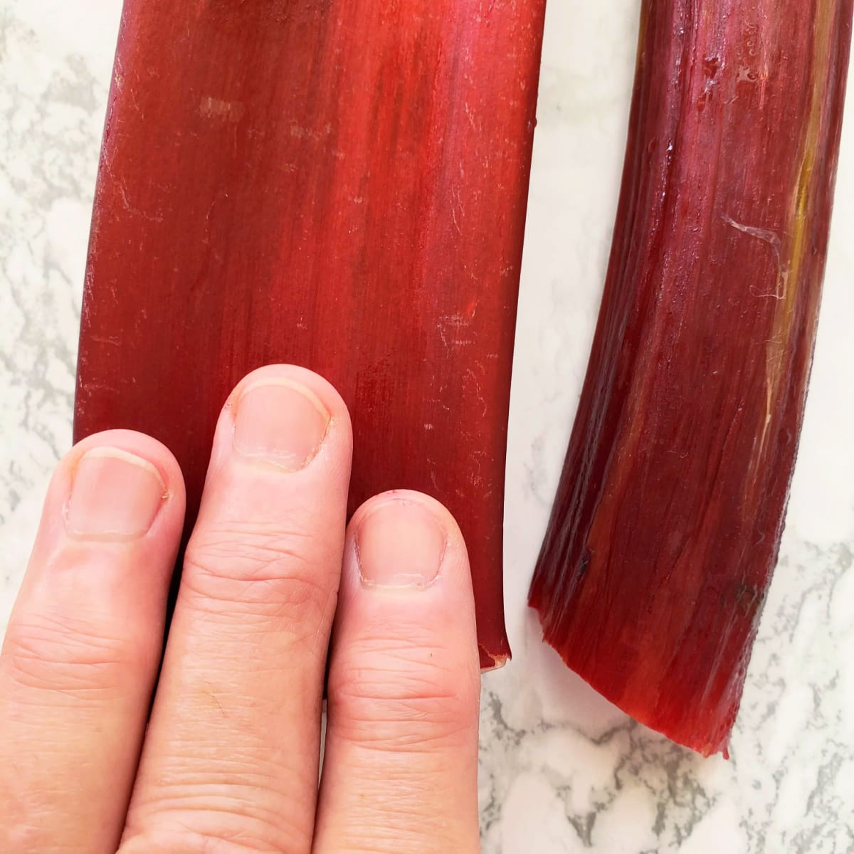 Three fingers atop a large rhubarb stalk show its size on ShockinglyDelicious.com