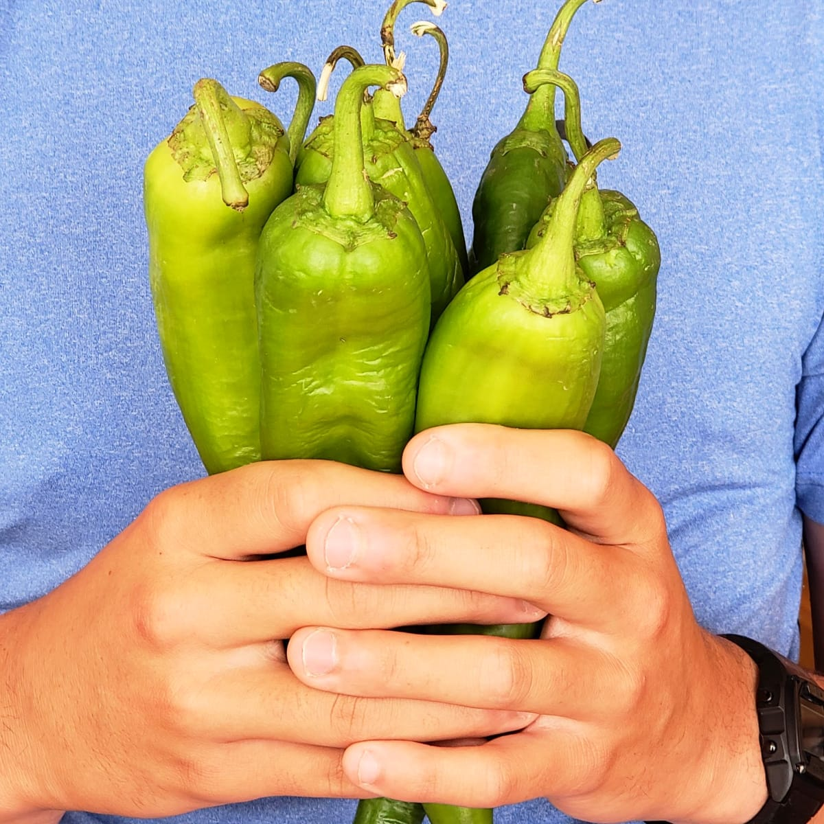 Bouquet of hatch chiles held by 2 hands against a blue shirt on ShockinglyDelicious.com